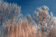 Frost cubrió los tops del árbol en un fondo del cielo azul Fotografía de archivo