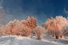 Frost cubrió los tops del árbol en un fondo del cielo azul Foto de archivo