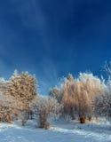Frost cubrió los tops del árbol en un fondo del cielo azul Foto de archivo libre de regalías