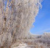 Frost cubrió los tops del árbol en un fondo del cielo azul Fotos de archivo