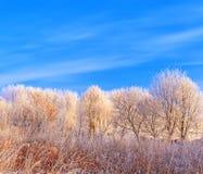Frost cubrió los tops del árbol en un fondo del cielo azul Imagenes de archivo