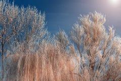 Frost cubrió los tops del árbol en un fondo del cielo azul Imagen de archivo libre de regalías