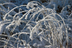 Frost curved reed Royalty Free Stock Photo
