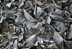 FROST ON DEAD AUTUMN LEAVES. EARLY MORNING FROST ON DEAD AUTUMN LEAVES BACKGROUND Stock Photo