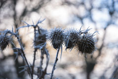 Frost on Dead seed heads Royalty Free Stock Photos