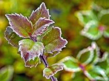 Frost deckte Blätter ab Lizenzfreies Stockbild