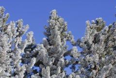 Frost deckte Kiefer ab lizenzfreie stockfotos
