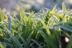 Frost derrubou a grama Imagem de Stock Royalty Free