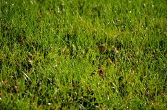 Frost and dew covered green grass in early autumn morning Royalty Free Stock Images