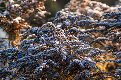 Frost dry grass in the sun Royalty Free Stock Images