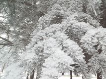 Frost e neve nas agulhas da árvore de Natal inverno dianteiro Foto de Stock Royalty Free