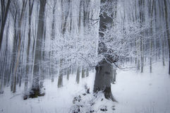 Frost em árvores em uma floresta bonita com névoa no inverno Imagens de Stock Royalty Free