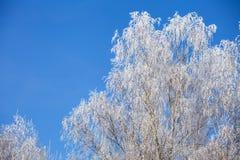 Frost en árbol de abedul en el invierno Imagenes de archivo