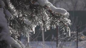 Frost en árboles Pp planos bosque del abeto del invierno 50fps con los árboles de navidad Nevado metrajes