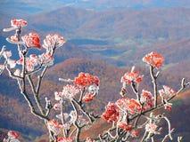 Frost en bayas rojas foto de archivo libre de regalías