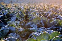 Frost en campo de la col de col rizada Imagen de archivo libre de regalías