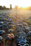 Frost en campo de la col de col rizada Foto de archivo