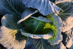 Frost en campo de la col de col rizada Imagen de archivo