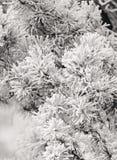 Frost en el árbol de pino B&W Fotografía de archivo