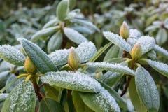 Frost en el rododendro imágenes de archivo libres de regalías