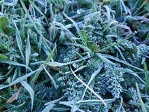 Frost en hierba y otras plantas verdes fotos de archivo libres de regalías