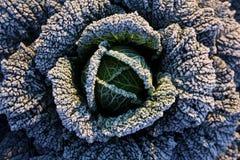 Frost en la col de col rizada Imagenes de archivo