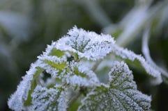 Frost en la planta Imagen de archivo libre de regalías