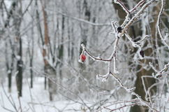 Frost en la ramificación Foto de archivo libre de regalías