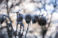 Frost en las cabezas muertas de la semilla Fotos de archivo libres de regalías
