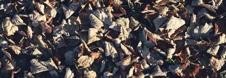 Frost en las hojas, panorama Foto de archivo