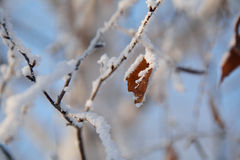 Frost en las ramas del abedul Imágenes de archivo libres de regalías