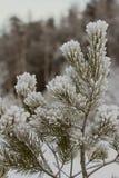 Frost en las ramificaciones de los árboles de pino Imagenes de archivo