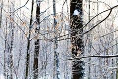 Frost en los gérmenes del árbol de ceniza Imagen de archivo libre de regalías