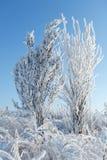 Frost en ramas de un árbol Imagen de archivo libre de regalías