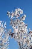 Frost en ramas de un árbol Fotos de archivo libres de regalías