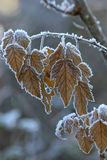 Frost on fall leaves Stock Images