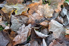 Frost on Fallen Maple Leaves. A thin layer of frost on fallen maple leaves Royalty Free Stock Photos