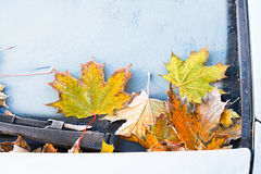 Frost on fallen yellow maple leaves Royalty Free Stock Photography