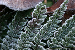 Frost on fern. Leaves showing detail Royalty Free Stock Photo