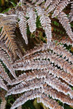 Frost with fern leaves Stock Images