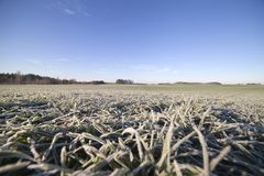 Frost in field. Frost in the young wheat Stock Images