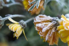 Frost frost first frost on flowers late autumn cold last flowers of chrysanthemum. Frost frost first frost frost on flowers late autumn cold last flowers of stock photo