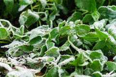 Frost and first snow on green leaves Stock Images
