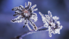 Frost on the flower Stock Photography