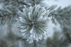 Frost flower. Royalty Free Stock Photo