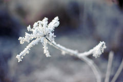 Frost on the flower. Stock Photography