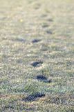 Frost footprints. Row of footprints in frosty short grass Stock Image