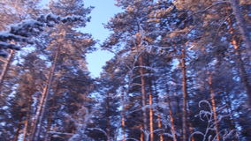 Frost, forest, cold, hoarfrost, trees, terms. Landscape of winter mood of pictures of nature of beauty of pine-wood stock video