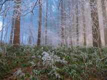 Frost in the forest of the Swiss Alps Stock Photo