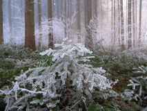 Frost in the forest of the Swiss Alps Stock Image
